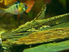 Langflossen-Strwels (schreibtnix) Tags: plants fish nature animals closeup aquarium tiere natur pflanzen nahaufnahme fische olympuse5 schreibtnix sturisomafestivum langflossenstrwels