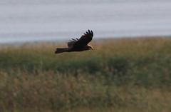 Anglų lietuvių žodynas. Žodis marsh harrier reiškia marsh lingė lietuviškai.