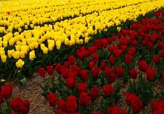 IMG_8471 Niederlande: Tulpenfelder/ Egmond (Traud) Tags: tulpen tulpenfelder egmond holland niederlande gelb rot blumen frühling spring tulips 7dwf