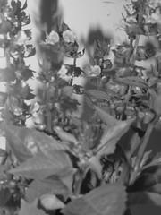 Reyhan (Dima Alhaj Yousef -Palestine) Tags: flower beautiful canon palestine balckandwhite 50 109 reyhan ورده ريحان نبته