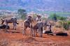 DSC_7674 (Arno Meintjes Wildlife) Tags: africa nature southafrica wildlife safari zebra predator bigcats krugerpark burchells equusburchelli burchellszebra equusquaggaburchellii arnomeintjes