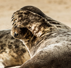 I'm shy ! (alunwilliams155) Tags: norfolk seal blakeneypoint morlo