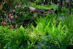 The Woodlands (JKEL) Tags: flowers green philadelphia nature woodlands logs ferns morrisarboretum chestnuthill