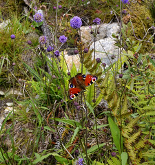 wild scotland (Andrew Pescod) Tags: uk flowers flower nature forest woodland butterfly insect scotland peacock wildflowers wildflower galloway peacockbutterfly uknature raidersroad scottishnature newgallowayforest d7000