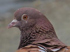Rock Pigeon (Columba livia) (ekroc101) Tags: birds vancouver bc stanleypark columbalivia rockpigeon