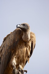 White backed vulture portrait, Timbavati (jozioau) Tags: africa vulture sal70400g1