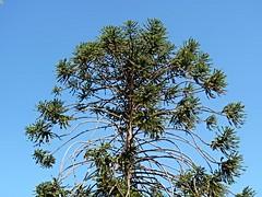 Araucaria bidwillii (Luigi Strano) Tags: italy europe sicily catania sicilia