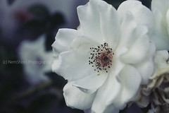 From Yesterday. (NemShiro) Tags: white flower nature beauty canon photography calm edit foreground 1100d nemshiro