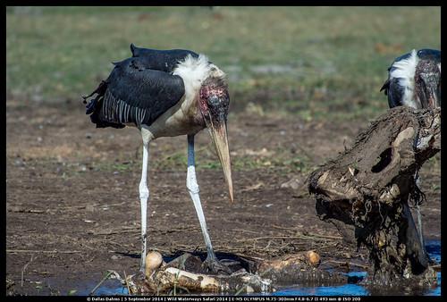 Marabou Stork (Chobe)