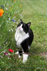Chat noir et fleurs de printemps