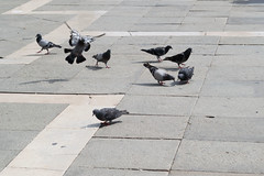 Venice Buurds (1 of 1) (KatJones93) Tags: venice summer italy holiday birds st fun nikon pigeon italu marks d3100