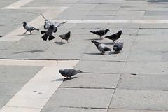 Venice Buurds (1 of 1) (KatJones93) Tags: venice summer italy holiday birds st fun nikon pigeon italu marks d3100