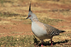 Crested Pigeon (aussiegypsy_on the road again) Tags: wild bird nature pigeon wildlife australian australia crest outback common widespread crestedpigeon ocyphapslophotes bronzewing groundfeeder