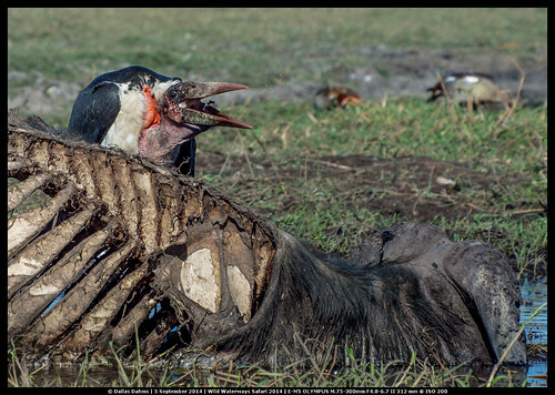 Marabou feasting on dead buffalo