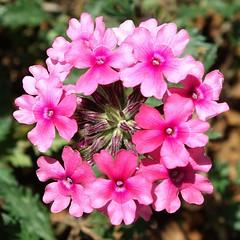 N23 FLOWERS GARDEN, JARDIN FLORAL VIETNAM, Fleurs, Zoo, Jardin Botanique, Botanical Garden, Saigon, Tp HCM, Ho Chi Minh ville, Ho Chi Minh city, Da Lat, Jardin Remarquable, Bambouzeraie d'Anduze, Jardin des Plantes de Paris, Flore Tropicale, (tamycoladelyves) Tags: paris macro cute closeup fleurs wonderful zoo amazing nice fantastic asia priceless awesome great arboretum super vietnam stunning excellent belle tropic asie extraordinaire lovely charming pow dalat botanicalgarden saigon hochiminhcity beau magnifique insolite beautifull delightful nationalgeographic floralpark asiatique jardinbotanique bello historymuseum trange jardindesplantes parcfloral superbe oustanding anduze ravissant roseraie serresdauteuil tropique hochiminhville tphcm surprenant tphochiminh flowersgardens lichsu jardindesplantesdeparis cotourisme jardinfloral thaocamvien vuonhong floralgarden jardinremarquable ardins bambouzeraie serrestropicales natureboheme tamycoladelyves lonelyplanete bbaotang rosegardencity