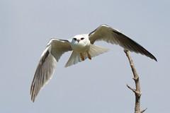 Putting on the power (Geoff Main) Tags: kite bird australia act birdofprey birdinflight blackshoulderedkite jerrabomberrawetlands canon7d canonef300mmf28lisiiusm canonefextender14xiii