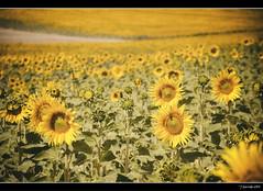Campos de Castilla (Pogdorica) Tags: desenfoque soria girasol castilla medinaceli camposdecastilla campogirasoles