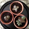 Crassula ovatum (heatherdawnplants) Tags: plants jadeplant succulents crassula houseplants ovata