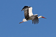 Stork in Flight (Roy Lowry) Tags: stork faro ciconiaciconia whitestork flightshot