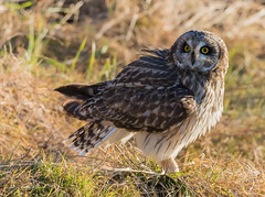 Short - eared Owl (Peter Bangayan) Tags: birdsofprey birds raptors wildlife nature washington stanwoodwa