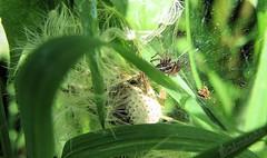 The home of a tiny predator... (Klaus • infrequently online •) Tags: spider dandelion blossom spinne löwenzahn blüte araignée pissenlit fleur edderkop mælkebøtte blomst hämähäkki voikukka kukka ragno dentedileone fiorire spin paardebloem bloesem edderkopp løvetann blomstre aranha dentedeleão flor spindel maskros blomma araña dientedeleón örümcek karahindiba çiçeği pająk mniszeklekarski kwitnąć паук одуванчик цвести クモ タンポポ 花 蜘蛛 蒲公英 開花