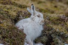 JWL6058 Mountain Hare.. (jefflack Wildlife&Nature) Tags: hare mountainhare animal animals moorland mammal moors cairngorms findhorn mountain wildlife nature scotland