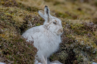 JWL6058 Mountain Hare..