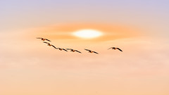 Nils Holgerson (Alfred Grupstra) Tags: clouds geese sun wervershoof noordholland nederland nl bird flying nature animal sky wildlife sunset seagull outdoors sea animalsinthewild animalwing summer blue beautyinnature sunlight flockofbirds backgrounds groupofanimals sunrisedawn
