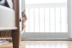 half hidden (MyMazeyCat) Tags: cat cats catface cateye siberiancats prettykitty