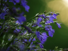 Blukeh (Basse911) Tags: flowers summer june juni suomi finland evening bokeh nordic blommor ilta sommar kes keskuu kukkia kvll