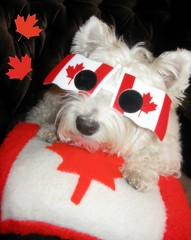 "6/12B ~ ""I Love Canada"" (ellenc995) Tags: riley westie westhighlandwhiteterrier canadaday mapleleaf july1 147yearsold red white 12monthsfordogs14 coth yearofholidays challengeclub pet100 coth5 thesunshinegroup sunrays5 citrit supershot pet500 challengeclubchampion naturallywonderful akob abigfave thegalaxy 100commentgroup"