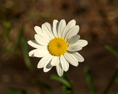 0008093 (Shakies Buddy) Tags: flowers canada eye garden nb days daisy mygarden allrightsreserved nbphoto my