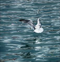 Al ataque (candi...) Tags: mar fly agua seagull gaviota pescando sonya77