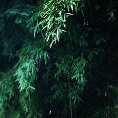 I bambù degli Arceri della Signoria