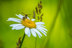 Flies chilling out (M$ingh.) Tags: flower macro nature yellow wildlife insects daisy flies yello