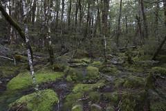 lush beech forest moss and tree-scape (Steve Attwood) Tags: newzealand green canon landscape moss canterbury lichen beech southernbeech beechforest ninavalley southislandhighcountry lewisparknationalreserve