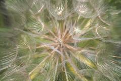 connessioni al centro (invitojazz) Tags: flower detail macro closeup nikon dettagli soffione d90 invitojazz vitopaladini