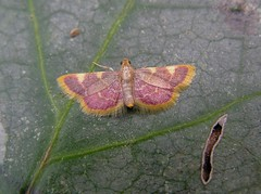 Hypsopygia costalis - La Pyrale du fourrage - The Gold triangle or Clover hay moth - 09/06/14 (Philippe_Boissel) Tags: france europe bretagne insects papillon pyralidae morbihan 088 pluneret pyralinae hétérocère goldtriangle hypsopygiacostalis cloverhaymoth pyraledufourrage lapyraledufourrage