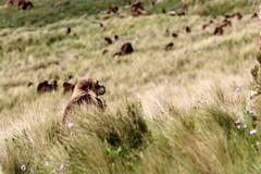 Gelada Baboons (nep000) Tags: africa bird trek highlands plateau hike lodge ethiopia conservationarea amhara guassa