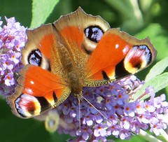 DAZZLE (d p hughes) Tags: summer nature cheshire butterflies insects peacock crewe inachisio wildlifr