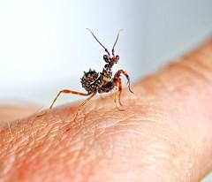 Pseudocreobotra wahlbergii, L2 (_papilio) Tags: macro canon mantis nikon invertebrate papilio mantid arthropod mpe65 wahlbergii pseudocreobotra spinyflowermantis d800e