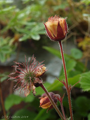 Water Avens (ExeDave) Tags: uk england cliff plant flower nature june rock flora lakedistrict explore cumbria ledge gb wildflower geum upland 2014 crag borrowdale rosaceae avens wateravens honister interestingness500 explored sssi geumrivale p6193296