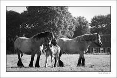_DSC6556-2 30x45 (Ton van der Weerden) Tags: horses horse dutch de cheval belgium belgian nederlands belges draft chevaux belgisch trait trekpaard trekpaarden gebroedersswinkelsvlierden