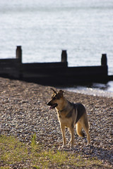 Happy Dog on the Beach (marc_morris1982) Tags: sea dog beach sunshine kent seaside stones sunny canine pebbles shore whitstable slopes tankerton