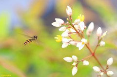 hoverfly approaching landing zone (HansHolt) Tags: flower macro colors dof bokeh pastel landing zone hoverfly approaching kleuren zweefvlieg nandinadomestica heavenlybamboo canonef100mmf28macrousm canoneos6d hemelsebamboe