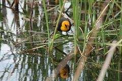 """christ, what an asshole"" (ratsal adsand) Tags: bird reed water swamp wetlands yelling blackbird cattail territory yellowheaded yellowheadedblackbird xanthocephalusxanthocephalus xanthocephalus christwhatanasshole robotsound"