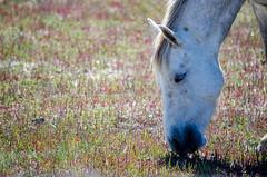 Cheval camarguais (Guillaume Paulignan) Tags: horse cheval maraisduvigueirat