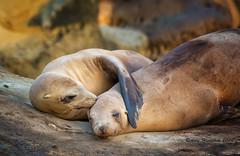 I Will Always Love You! (Happy Photographer) Tags: ocean california love kiss wildlife lajolla seals harborseals amyhudechek