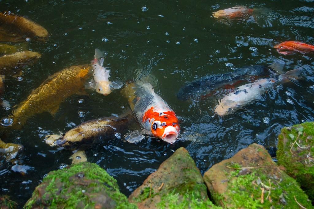 Shubunkin goldfish pond the image kid for Best goldfish for pond