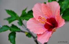 DSC_0086 (rachidH) Tags: flowers nature island blossom hellas greece hibiscus blooms kefalonia karavomylos rachidh